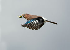 Eurasian jay Garrulus glandarius, in flight Stock Photo