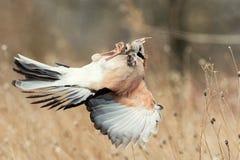 Eurasian jay Garrulus glandarius in flight with prey in beak.  stock photos