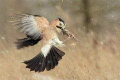 Eurasian jay Garrulus glandarius in flight with prey in beak.  Stock Image