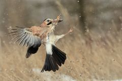 Eurasian jay Garrulus glandarius in flight with prey in beak.  Stock Images