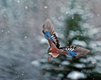 Eurasian jay, Garrulus glandarius flying in falling snow. With snow-covered fir tree in the background somewhere in Sweden Royalty Free Stock Image
