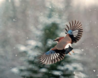 Eurasian jay, Garrulus glandarius flying in falling snow. With snow-covered fir tree in the background somewhere in Sweden