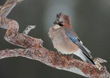 Eurasian Jay Garrulus glandarius, perched on a tre Stock Images