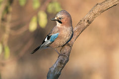 Eurasian Jay Royalty Free Stock Photo
