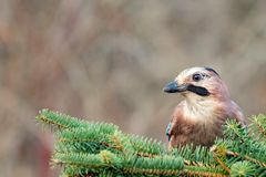 Eurasian jay, Garrulus glandarius, sits on a coniferous branch royalty free stock images