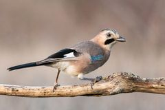 Eurasian jay, Garrulus glandarius, sits on a dry branch. Side view stock photography
