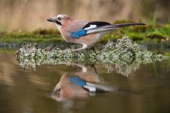 Eurasian Jay, Garrulus glandarius is sitting at the forest waterhole, reflecting in the surface, preparing for the bath, colorful stock photo