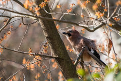 The Eurasian jay. Garrulus glandarius in a tree Royalty Free Stock Images