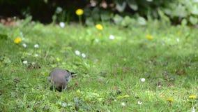 Eurasian Jay on a green meadow stock video footage