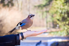 Eurasian jay on hand Royalty Free Stock Photo