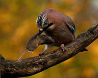 Eurasian jay have caught a The wood Mouse Stock Image
