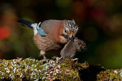 Eurasian jay have caught a The wood Mouse Royalty Free Stock Images