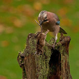 Eurasian jay have caught a The wood Mouse Royalty Free Stock Photo