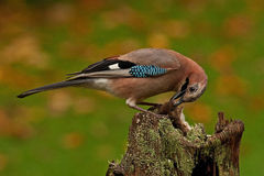 Eurasian jay have caught a The wood Mouse Royalty Free Stock Image
