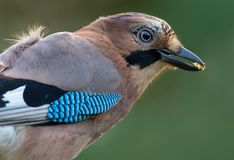 Eurasian jay head portrait with a toxic beetle in the beak royalty free stock photography