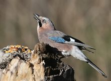 The Eurasian jay juggles a sunflower seed on a vertical log-feeder on a blurred background. The details of the plumage and the distinctive features of the bird Stock Image