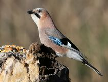 The Eurasian jay juggles a sunflower seed on a vertical log-feeder on a blurred background. The Eurasian jay sits on a vertical log-feeder on a blurred Stock Photo
