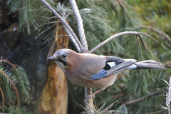 Eurasian jay Royalty Free Stock Images