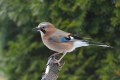 Eurasian jay looking for food Stock Photos