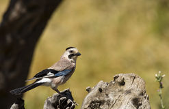 Eurasian Jay Looking Right (Gallurus glandarrius) Royalty Free Stock Image