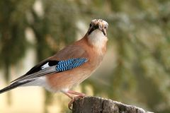 Eurasian jay looking towards the camera Stock Images