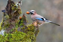 Eurasian jay with a nut in the beak. Eurasian jay with a walnut in the beak perched on a log Royalty Free Stock Photo