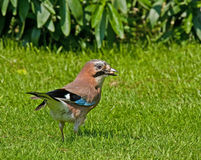 Eurasian Jay with Peanuts Royalty Free Stock Photos