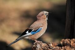 An Eurasian Jay perched on a stump royalty free stock image