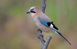 Eurasian jay perched on a willow branch stock photo