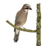 Eurasian Jay perching on a branch, Garrulus glandarius, isolated Royalty Free Stock Image