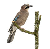 Eurasian Jay perching on a branch, Garrulus glandarius, isolated Royalty Free Stock Photography