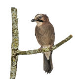 Eurasian Jay perching on a branch, Garrulus glandarius, isolated Royalty Free Stock Photos