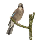 Eurasian Jay perching on a branch, Garrulus glandarius, isolated Stock Photos