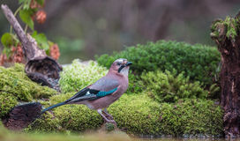 Eurasian Jay at a pool Royalty Free Stock Image