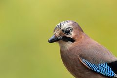 Eurasian jay portrait. Green background Stock Image