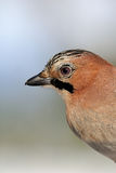 Eurasian Jay portrait in winter Stock Image