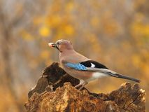 Eurasian jay with a prey 2. Stock Photography