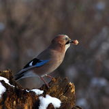 Eurasian jay with a prey in beak Stock Images