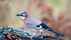 Eurasian Jay in Profile Royalty Free Stock Images