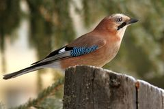Eurasian jay profile in the forest royalty free stock photos