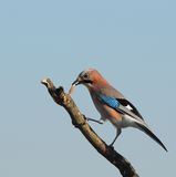 Eurasian jay on a rotten branch Royalty Free Stock Image