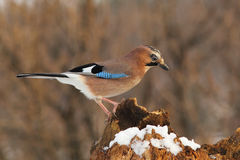 Eurasian jay on a rotten stump Royalty Free Stock Photography