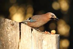 Eurasian jay searching food on birdfeeder Royalty Free Stock Photos