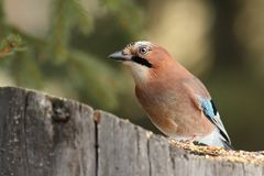 Eurasian jay at a seed feeder Stock Photo