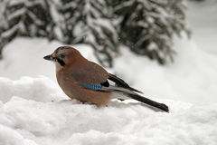 Eurasian Jay sitting in the snow Royalty Free Stock Image