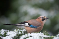 Eurasian Jay in snow Royalty Free Stock Photos