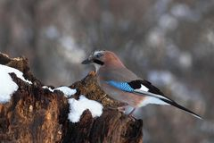 Eurasian jay on a snowy log Royalty Free Stock Photo