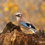 Eurasian jay  on a  stump 3. Royalty Free Stock Image