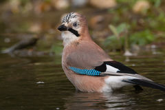 Eurasian jay Stock Photography