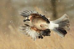 Eurasian Jay in volo nella neve fotografia stock